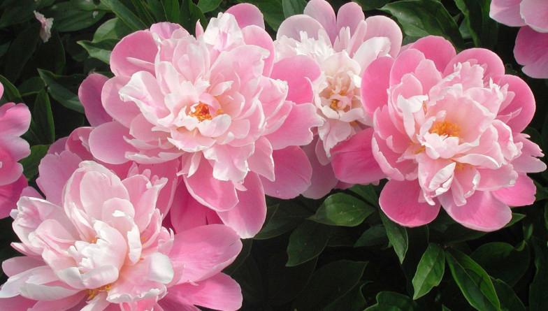 Бежевые пионы, цветут, фото