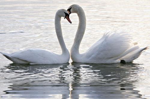 Пара лебедей на озере