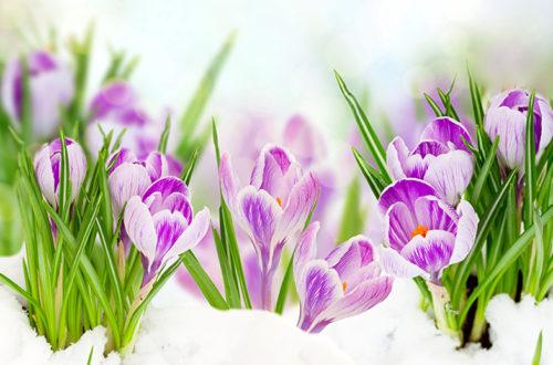 Крокусы цветут, весна, снег, 8 марта