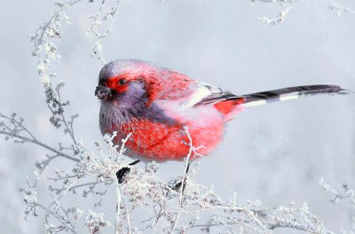 Снегири, заснеженная зима, фото