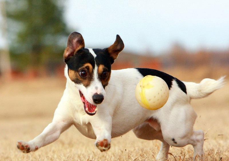 Собачка играется с мячом, фото