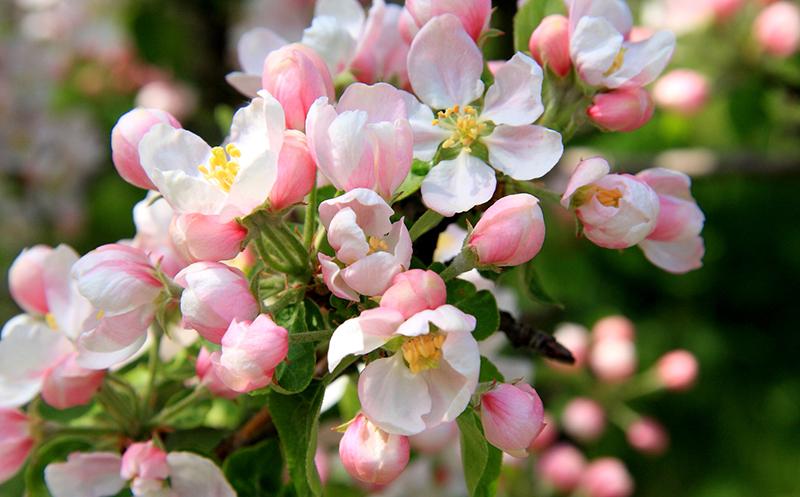 Май, цветут яблони, фото