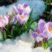 Крокусы в снегу